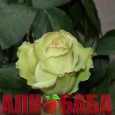 Роза Грин Фешн