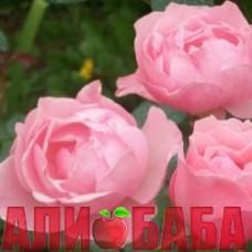 Роза Квин оф Ингланд