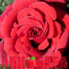 Роза Дафтцаубер