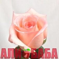 Роза Энгейджмент