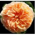 Роза Корона Принцессы Маргарет