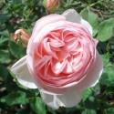 Роза Хэритедж