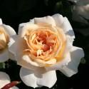 Роза Лионс