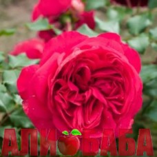 Роза Ред Эден