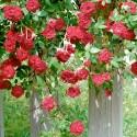 Роза Ред Каскад
