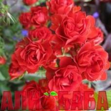 Роза Скарлет Мейяндекор