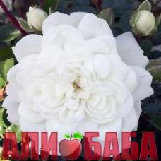 Роза Сноу Балет