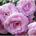 Роза Диадема