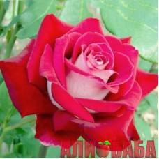 Роза Динамит