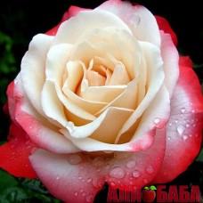 Роза День и Ночь