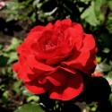Роза Нина Вейбул