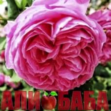 Роза Пинк Мусимара