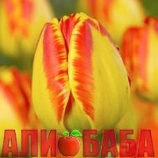 Тюльпан Банялука