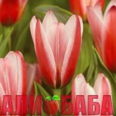 Тюльпан Хартс дилайт