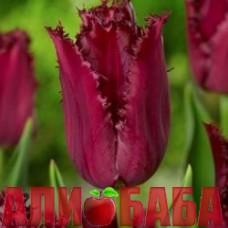 Тюльпан Пацифик перл