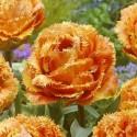 Тюльпан Сенсал тач