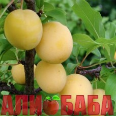 Алыча Злато Скифов