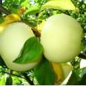 Яблоня Белый налив (Алебастровое, Прибалтийское, Папировка)