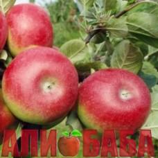 Яблоня Деликатес