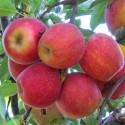 Яблоня Гала (Торжественная)