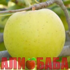 Яблоня Голд Раш