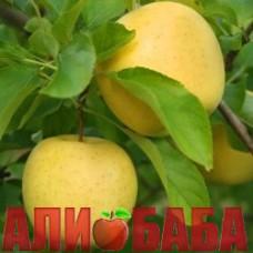 Яблоня Голден Делишес Рейндерс