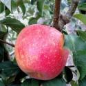 Яблоня Пинова