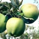 Яблоня Сапфир
