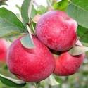 Яблоня Мекинтош (Макинтош)