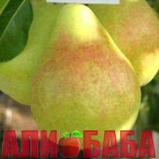 Груша Дельбарью